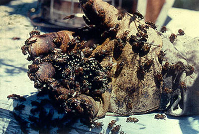 Apis mellifera scutellata