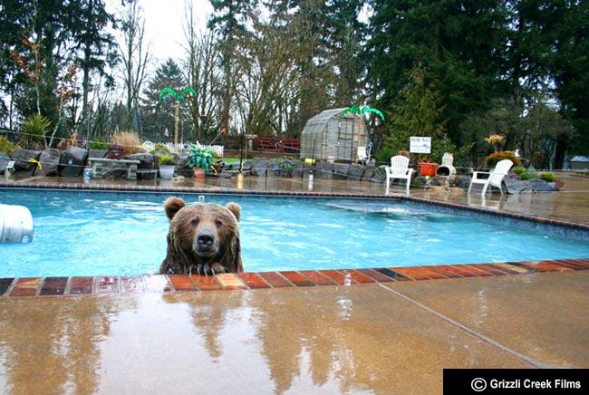 Brutus. Un grizzli profite de la piscine
