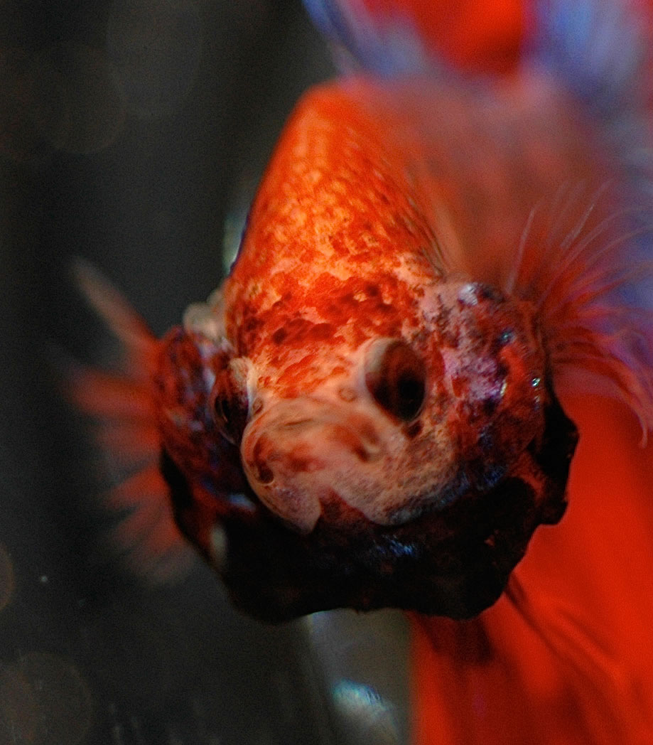 comportement de mon betta Betta_splendens_06_jpg