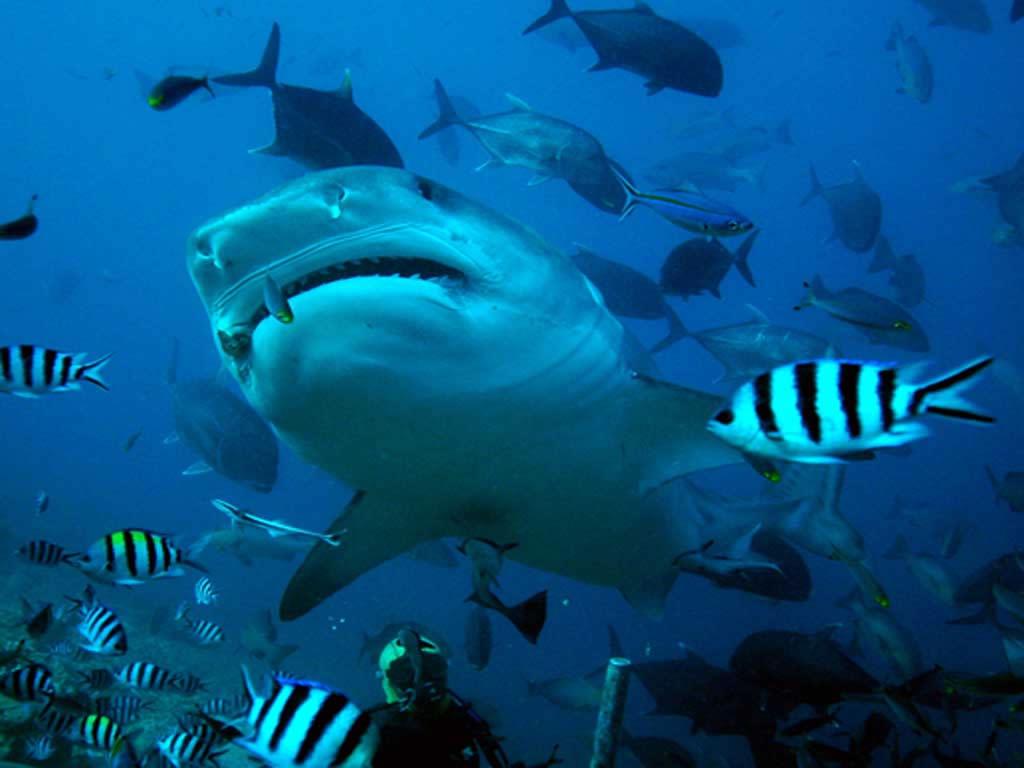 Album photo requin dinosoria - Photo de requin tigre a imprimer ...