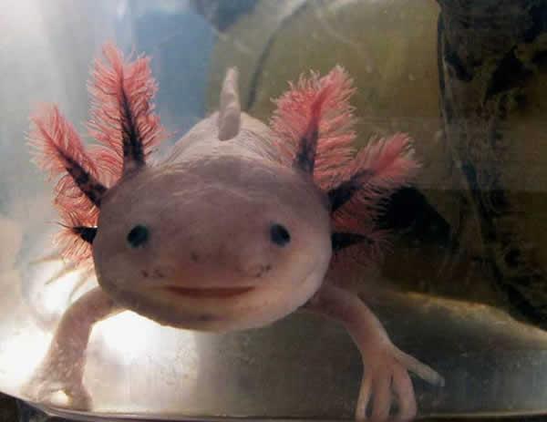 axolotl-10
