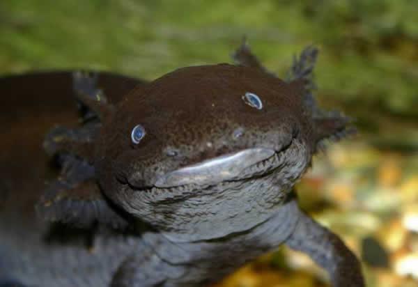 Axolotl   Ambystoma mexicanum  En Images  Dinosoria