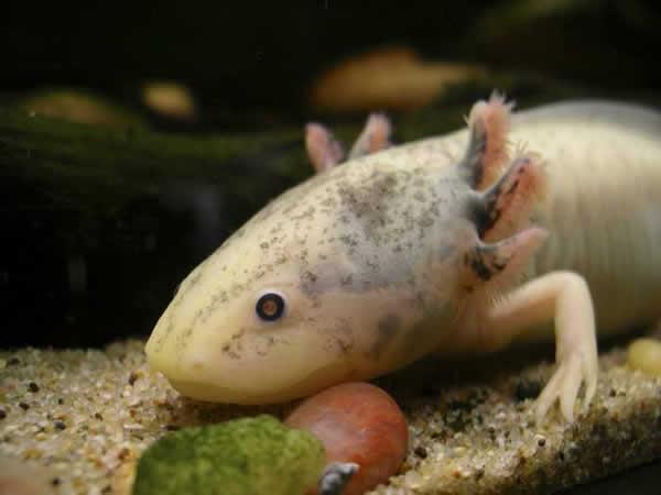 Axolotl en captivité