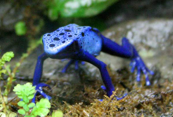 Grenouille Costa Rica dendrobates. des grenouilles venimeuses. en photos. dinosoria