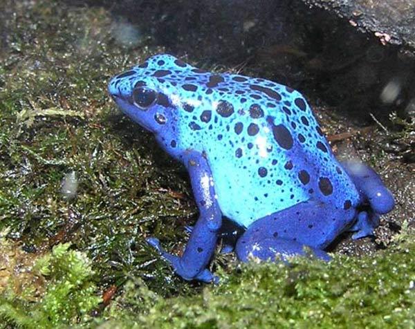 Grenouille Bleue Venimeuse dendrobates. des grenouilles venimeuses. en photos. dinosoria