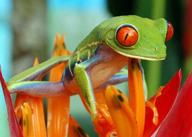 Rainette aux yeux rouges. Agalychnis callidryas