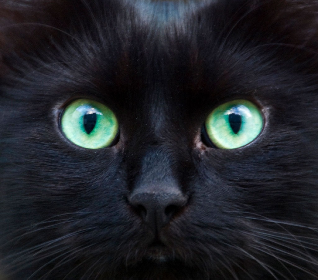 Pure Black Cat Pictures