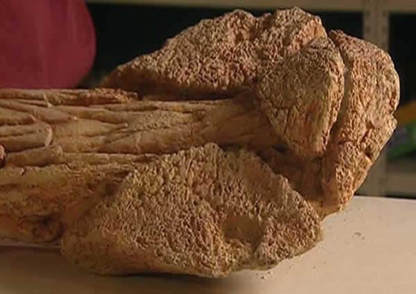 Massue d'un Ankylosaure