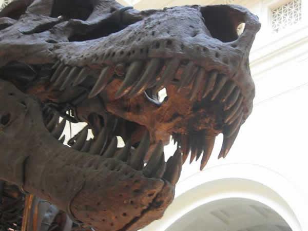 Machoires d'un Tyrannosaure