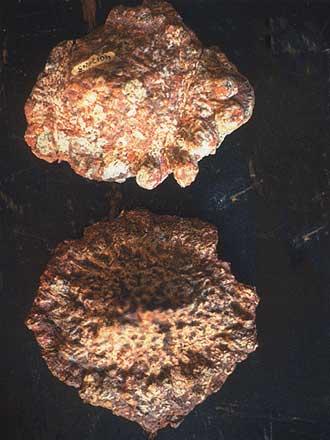 Fragments de la cuirasse osseuse de Saltasaurus