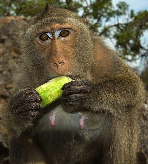 Homme et singe parent s paration dinosoria - Le singe d aladdin ...