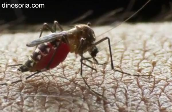 Moustique. aedes aegypti