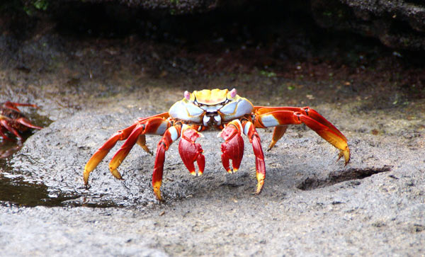 Crabe des Galapagos