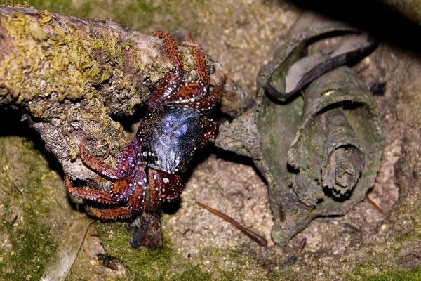 Crabe. Goniopsis cruentata