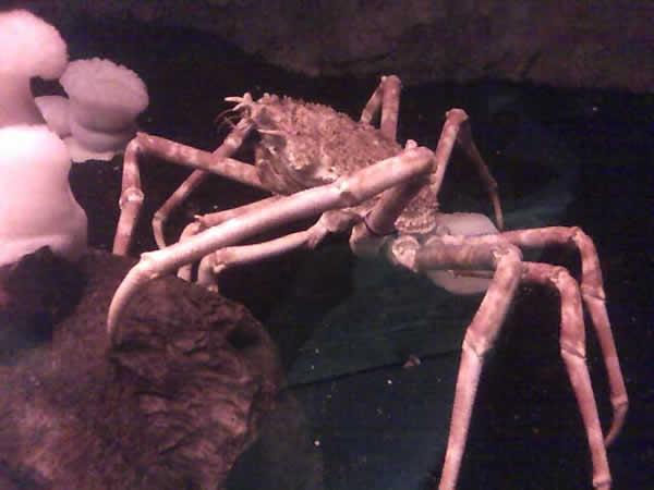 Crabe araignée géant