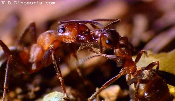 fourmi soldat en images dinosoria. Black Bedroom Furniture Sets. Home Design Ideas