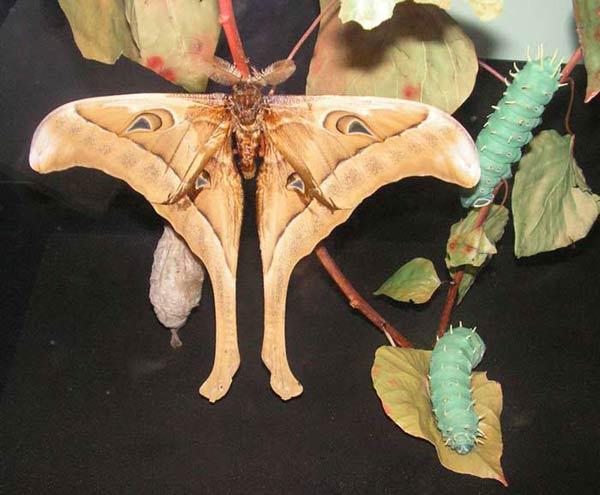 Papillon Hercule