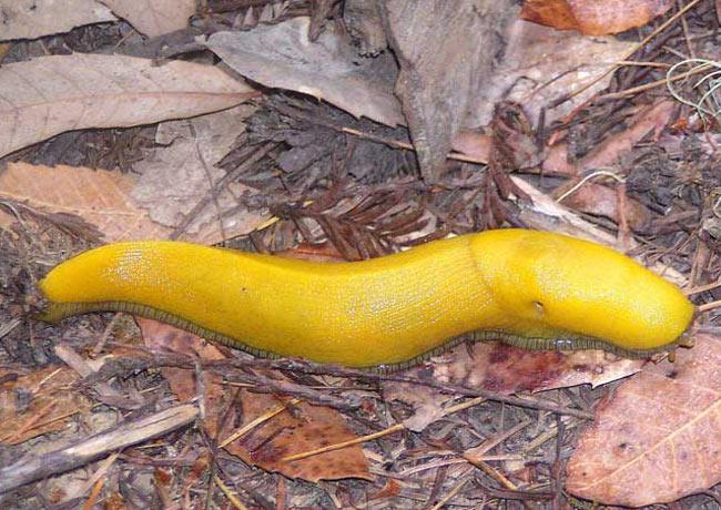 limace banana slug