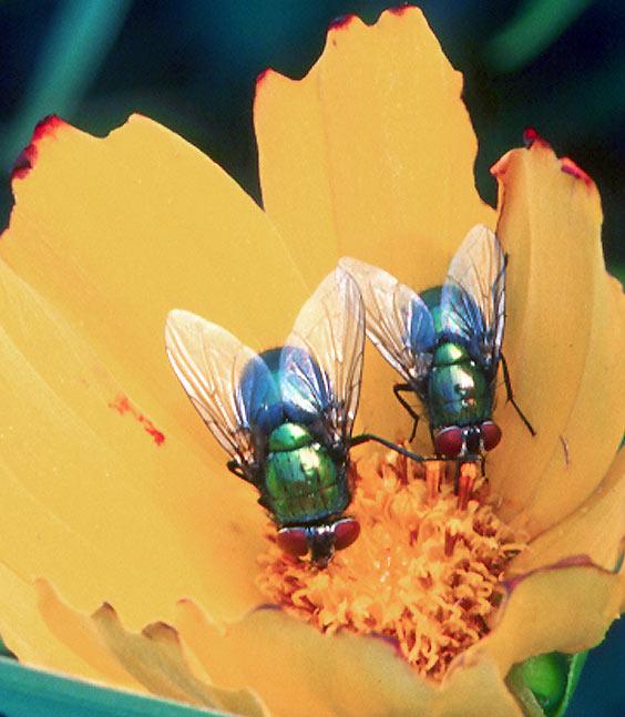 Mouche bleue mouche verte frawsy - Invasion de mouches vertes ...