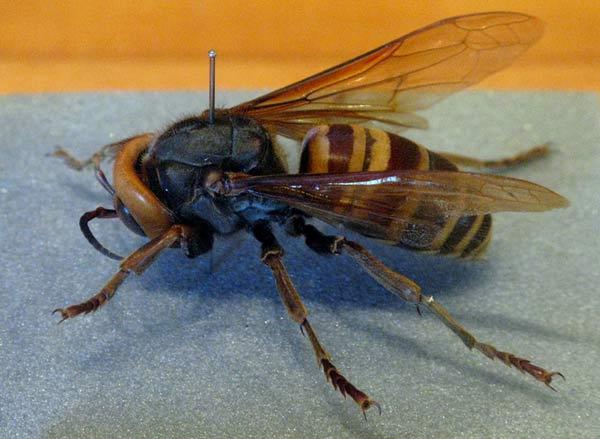 frelon g u00e9ant  vespa mandarinia  en images  dinosoria
