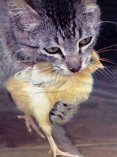 chat et poussin