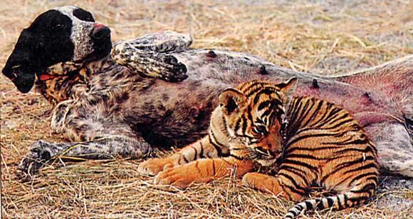 chien et bébé tigre