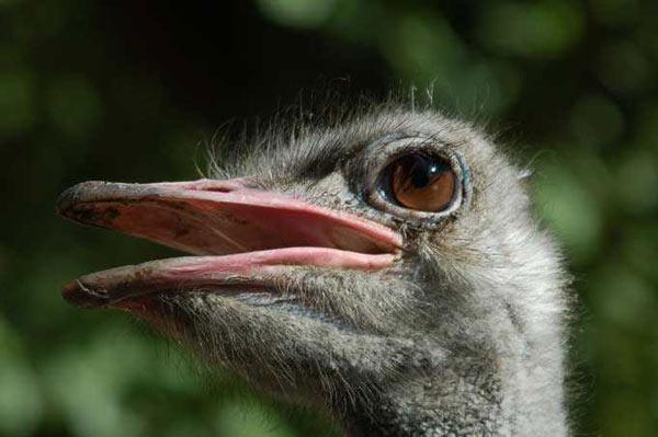 Autruche struthio camelus en images dinosoria - Poids d une autruche ...