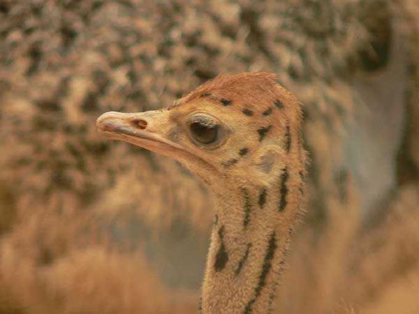 Autruche struthio camelus en images dinosoria - Autruche bebe ...