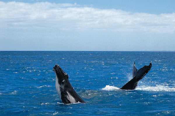 Femelle baleine à bosse et son petit