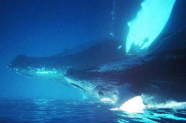 Femelle baleine à bosse et son bébé