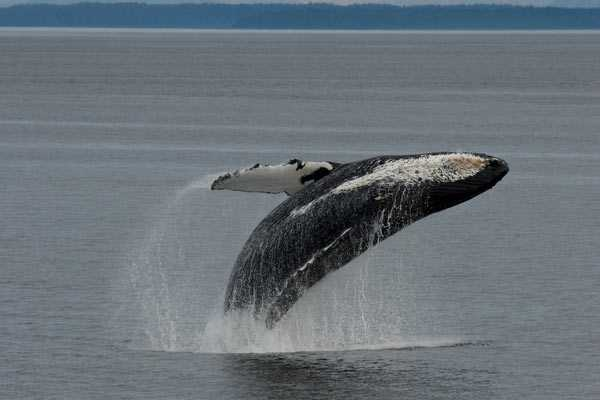 Jeune baleine à bosse