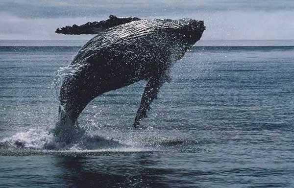 Baleine à bosse en plein saut