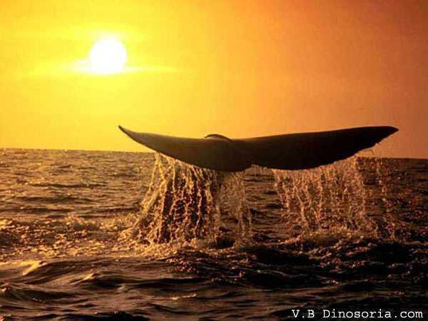 Baleine au crépuscule
