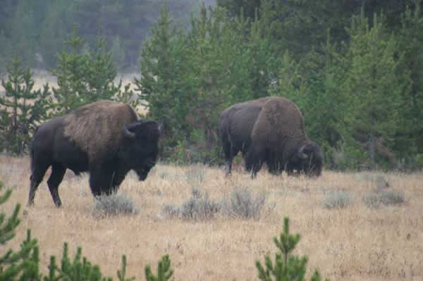 Bisons a Yellowstone