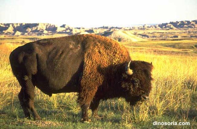 Apatchen Büffel