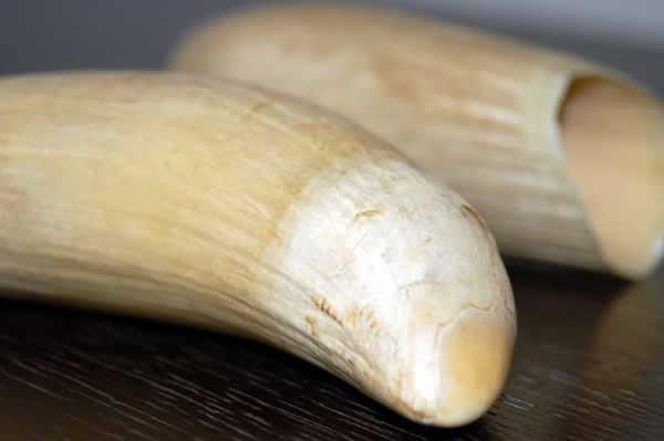 Dents de cachalot