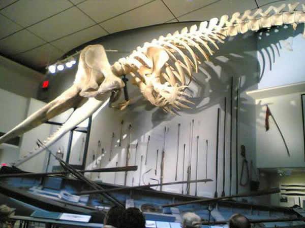 Squelette d'un cachalot
