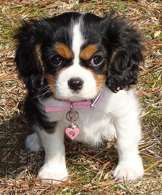 Chiot cavalier king-charles