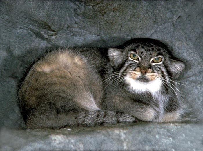 Chat de Pallas dans sa tanière