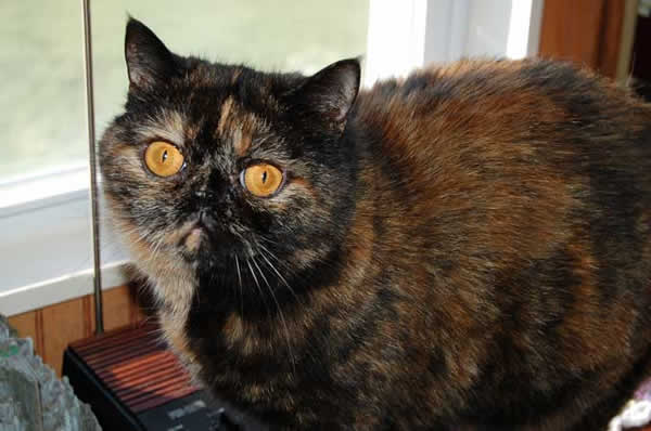 Chat persan en images dinosoria - Combien de portee par an pour un chat ...