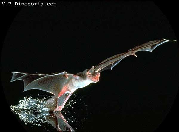 pteropus giganteus peut faire combien de bébé