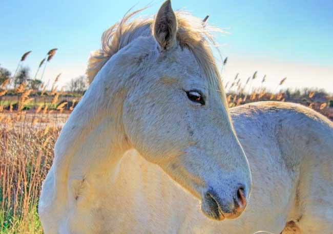 Camargue. Un cheval blanc