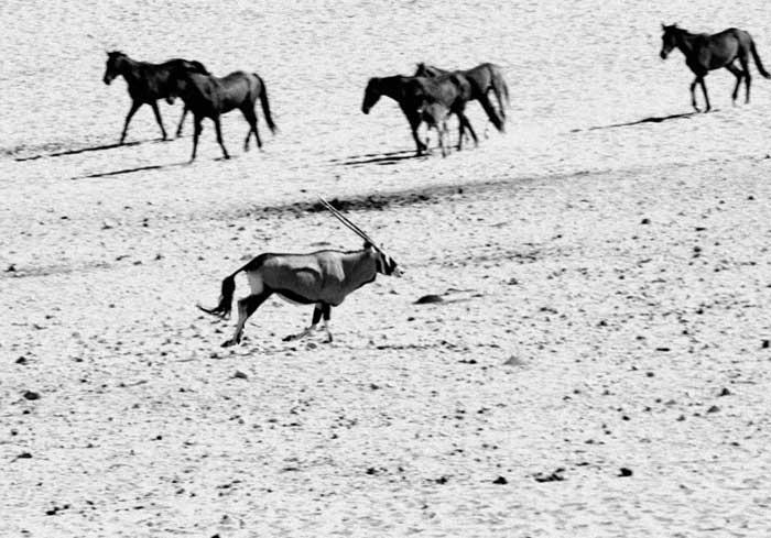 Chevaux de Namibie
