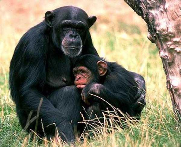 Chimpanze en images dinosoria - Le singe d aladdin ...