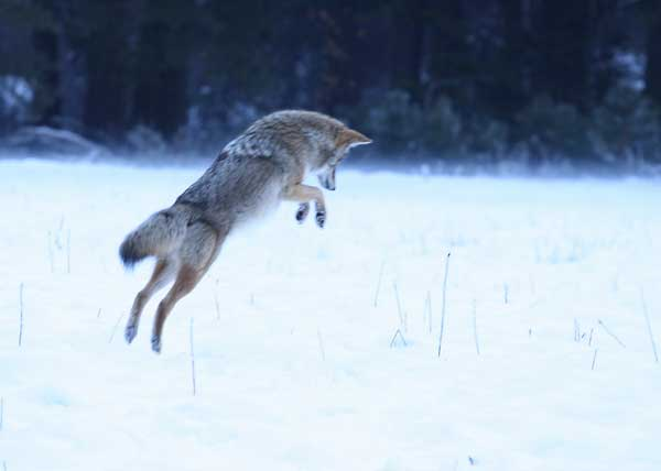 Coyote qui chasse
