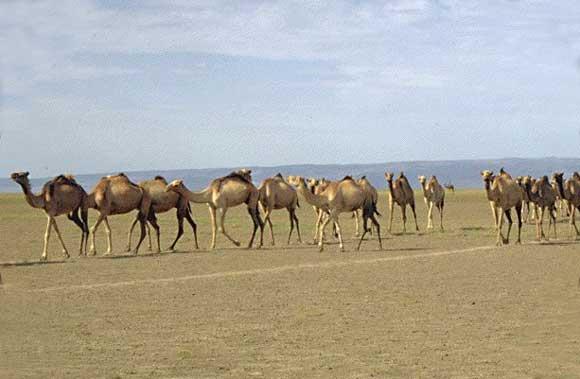 Chameau.DROMADAIRE.Les Pionniers du Desert. Terra Nova