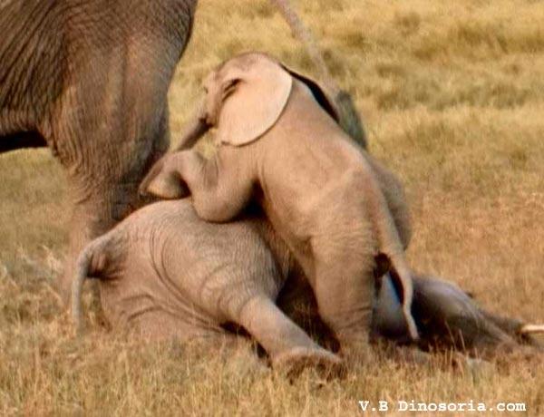 http://www.dinosoria.com/mammifere/elephant-d-10.jpg