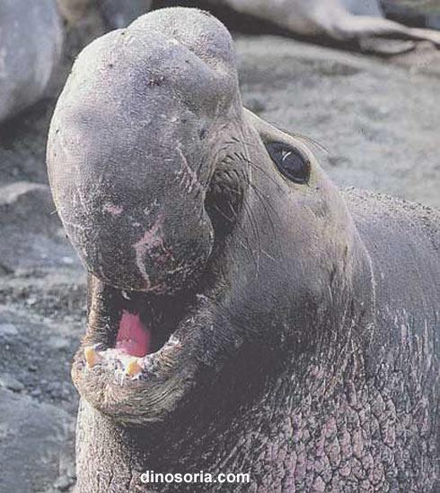 """Résultat de recherche d'images pour """"éléphant de mer"""""""