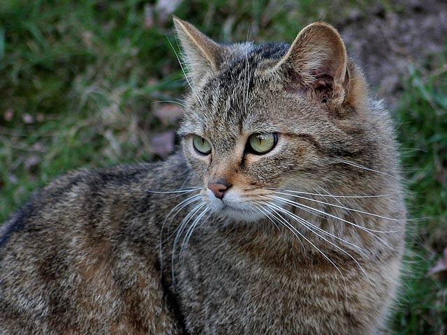 Chat sauvage le site des animaux - Combien de portee par an pour un chat ...
