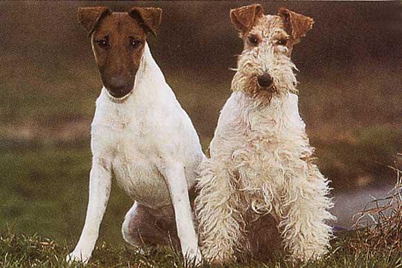[Section 1] Fox Terrier (Dur et Lisse) Fox_terrier